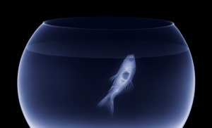 X-ray of a goldfish in a bowl.