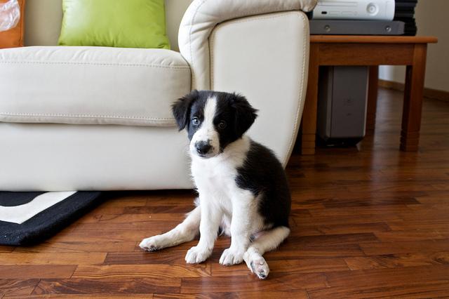 Black and white puppy dog sitting next to sofa