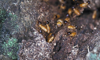 Infographic On Some Facts About Termites