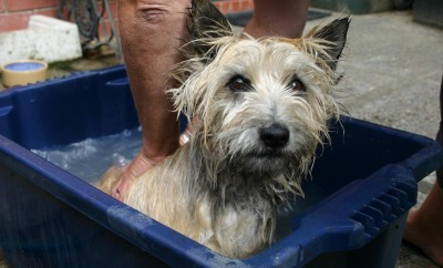washing dog in a bucket of water