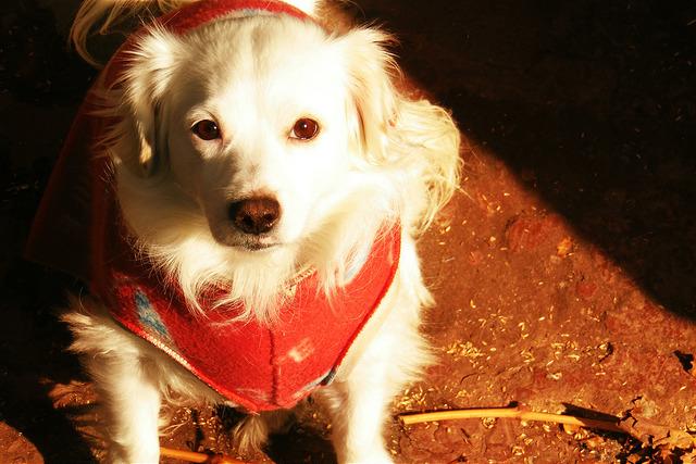 golden retriever wearing a red dog jumper