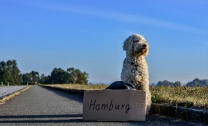 Poodle on street side with a board saying 'Hamburg'