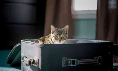 cat exploring inside of a suitcase