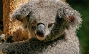 Koala bear holding on to a tree