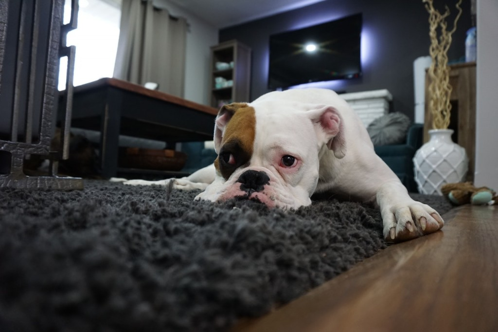 English bull dog relaxing on a brown rug