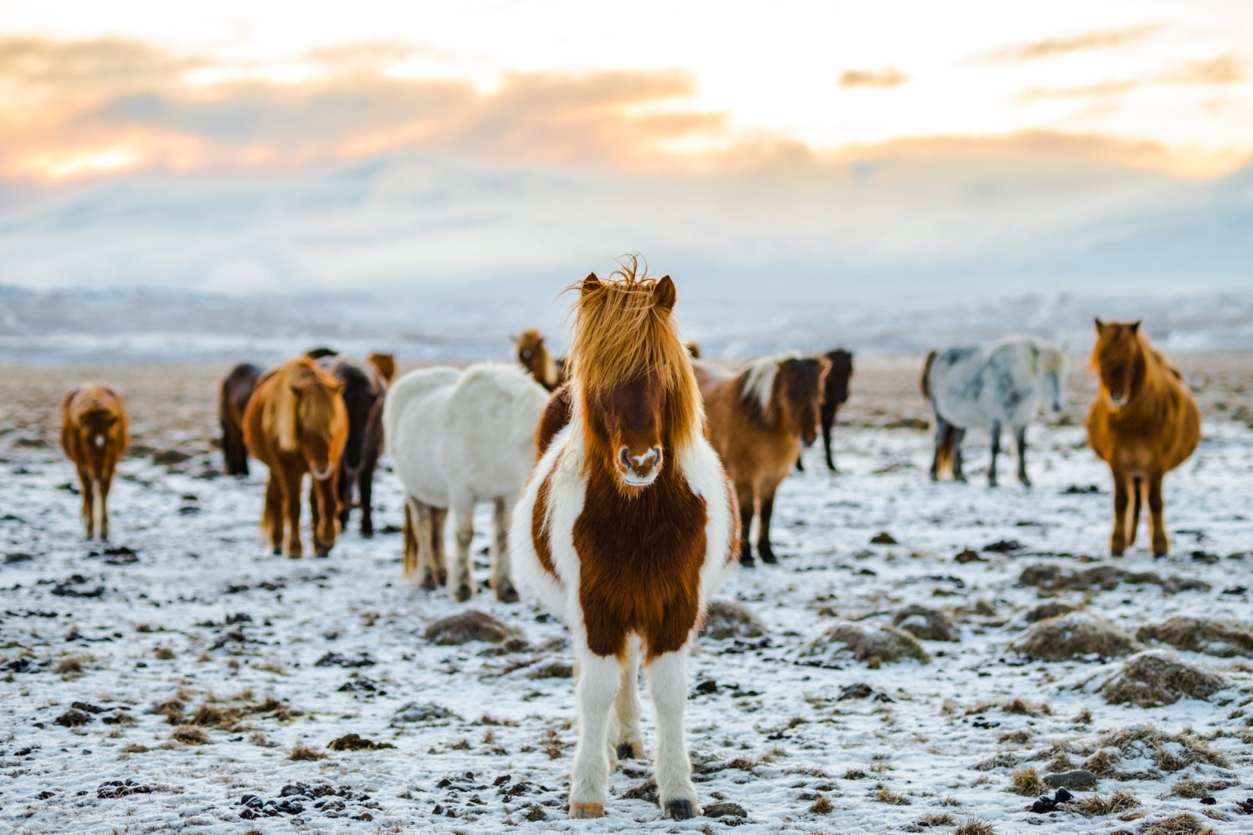 Top 5 Aussie Favourite European Destinations- Iceland horses