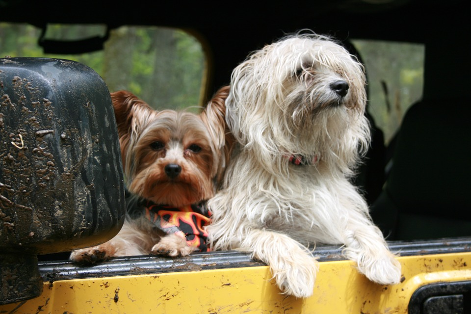 Two dogs looking out of a yellow car