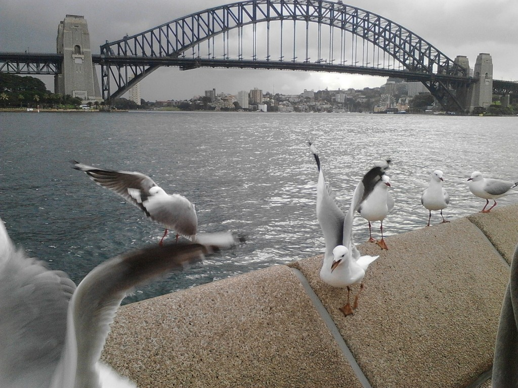 Sea gulls with view to Sydney Harbour bridge
