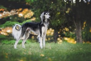 Top Dog Breeds for Single Women- Greyhound in a park