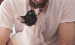 Boston Terrier looking up at its owner