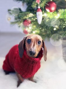 dachshund-dog-wearing-a-red-sweate
