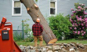 Tree lopper, Cutting down a tree