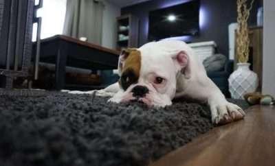 Bulldog lying on the carpet